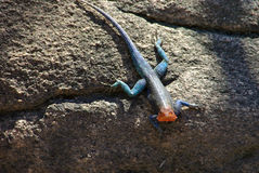 Agama. On the rock in Tanzania Royalty Free Stock Image