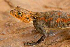 Agama. On the rock in Tanzania Royalty Free Stock Photos