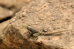 Agama. On the rock in Tanzania Royalty Free Stock Photography