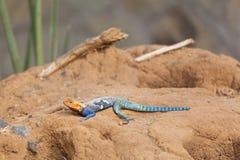 Agama Rojo-dirigido de la roca en Kenia fotografía de archivo