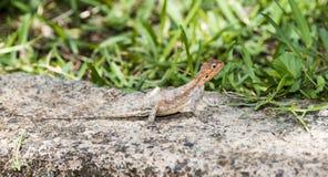 Agama Rojo-dirigido del Agama del lagarto del Agama de la roca que se calienta en una roca imagenes de archivo