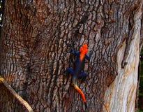 Agama Rojo-dirigido que descansa contra la corteza marrón del árbol fotos de archivo