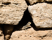Agama sitting in a crevice of the stone fence Royalty Free Stock Images