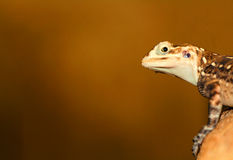 Agama Stock Photography