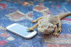 Agama with smart phone on the sofa Stock Image
