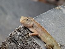 Agama. In the South-East Asia Stock Images