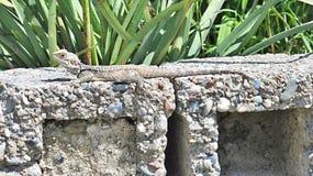 Agama stellio, Agama lehmani, Cypr Zdjęcie Royalty Free