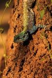 Agama van de Blueheadedboom royalty-vrije stock afbeeldingen