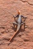 Agama w Namib Fotografia Stock