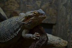 Agama. From zoo in Odessa Royalty Free Stock Photos