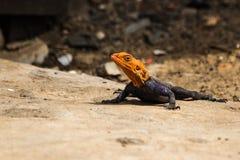 Agamalizzard Fotografering för Bildbyråer