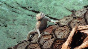 Agame, pogona vitticeps,一条小的龙 免版税库存照片