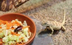 Agame de Savignys (savignii de Trapelus) avec la nourriture photographie stock libre de droits