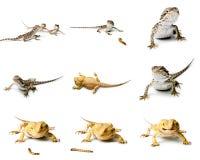 Agame Ensemble de dragon barbu Photographie stock libre de droits