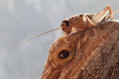 Agame et cricket barbus. Instruction-macro. Photo stock