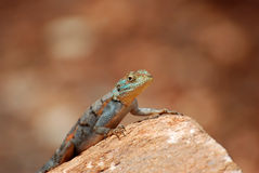 Agame / Kenia. An agama on a stone Royalty Free Stock Photo