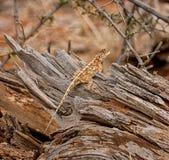 Agame méridional de roche photos libres de droits