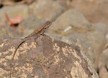 Agame péninsulaire de roche/séance femelle indienne du sud d'agame de roche (dorsalis de Psammophilus) sur la roche Photographie stock libre de droits