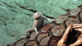 Agame pogonavitticeps, lite drake Royaltyfri Foto