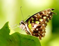 Agamemnon de Graphium de papillon Photographie stock libre de droits