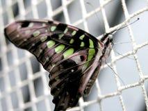 agamemnon motyla graphium Fotografia Royalty Free