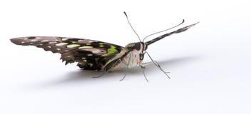 agamemnon motyla graphium Zdjęcia Royalty Free