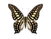 Agamemnon tropicale di Graphium della raccolta della farfalla Fotografie Stock