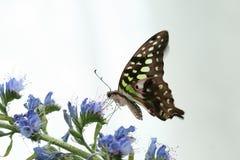 agamemnongraphium Royaltyfri Bild