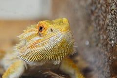 Agamic lizard Central bearded dragon Pogona vitticeps head looking forward next to artificial wall in terrarium. Agamic lizard Central bearded dragon Pogona Royalty Free Stock Image