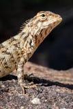 Agamid蜥蜴 鬣蜥科 免版税库存图片