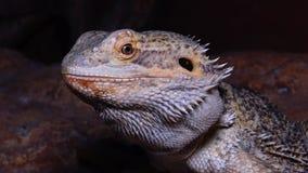 Agamid蜥蜴Pogona vitticeps,有胡子的龙 影视素材