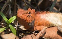 Agamid,多变的蜥蜴,香港 免版税库存图片