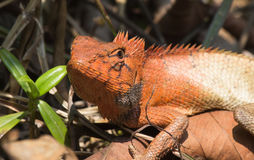 Agamid,Changeable Lizard ,Hong Kong Royalty Free Stock Image