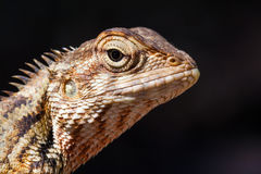 Agamid lizard. Agamidae. Asian lizard. Close up shot taken with professional macro lens. Deep details. Location: Sri Lanka Stock Photo