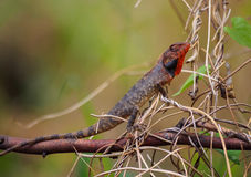 Agamid lizard (Calotes versicolor) with breeding coloration Stock Image