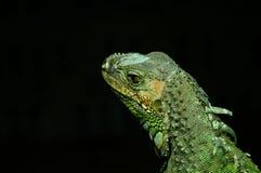 Agamidae Fotografia Royalty Free