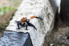 Agamidae, Agama jaszczurka w Murchison parku narodowym, Uganda, Afryka Fotografia Royalty Free