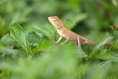 Agamidae family lizard. Agamidae family tropical lizard standing in tropical vegetation stock photography