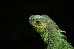 Agamidae. The family Agamidae is one of three families belonging to the infraorder Iguania. Known as dragons in Australia, agamids are small to moderate-sized royalty free stock photography
