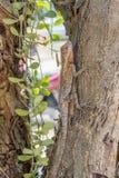 Agamidae, jaszczurka na drzewie Zdjęcie Stock