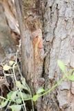Agamidae, jaszczurka na drzewie Obrazy Stock