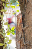 Agamidae, lizard on tree. Conceal in nature stock image