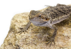 Agamidae, Pogona vitticeps Stock Photo