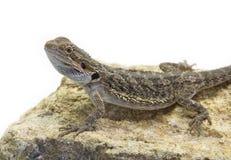 Agamidae, Pogona vitticeps Stock Images