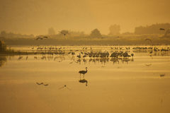 Agamon Hula ptaka schronienie Zdjęcie Stock