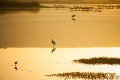 Agamon Hula ptaka schronienie Zdjęcia Royalty Free