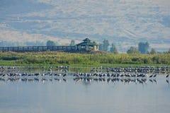 Agamon Hula ptaka schronienie Fotografia Royalty Free
