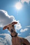 Aganst do cão um céu azul Fotografia de Stock