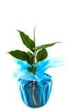 Agaonema tenuipes Engl, wankhanmak Zdjęcia Stock