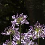 Agapà ¡ nthus kwiat w ogródzie Zdjęcia Stock